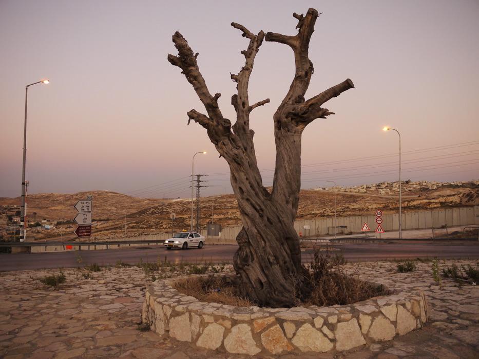 olive tree 001